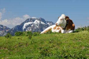 Rind vor Alpenkulisse